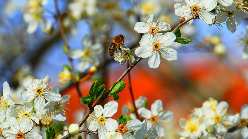 Rockyroad to Sydney : abeille en fleur